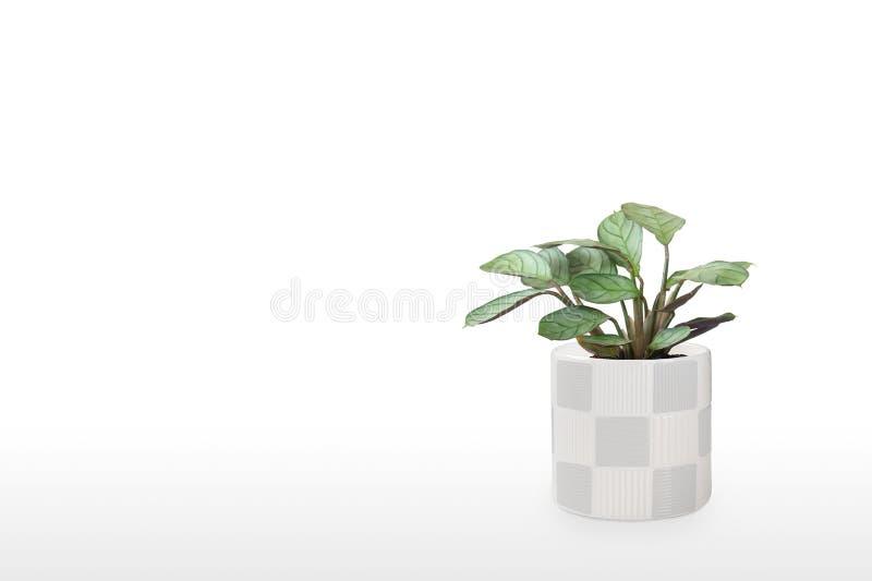 Prachtige huisplant Maranta in een pot geïsoleerd op witte achtergrond royalty-vrije stock fotografie