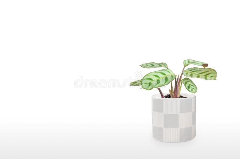 Prachtige huisplant Maranta in een pot geïsoleerd op witte achtergrond royalty-vrije stock foto's