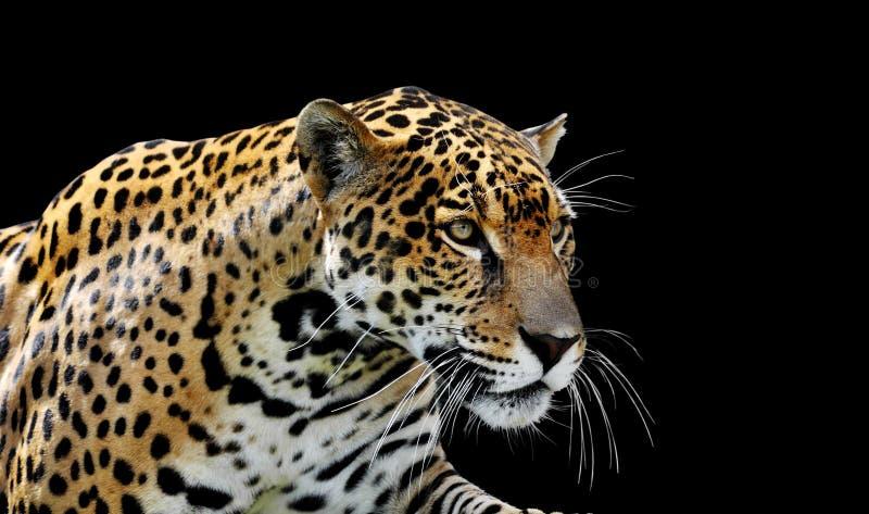 Prachtige jaguar-portret stock foto