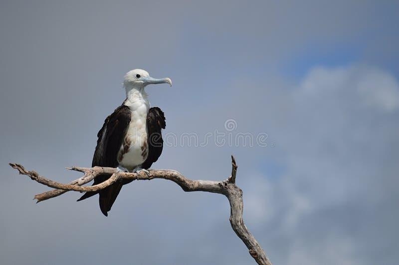 Prachtige juvinile Frigatebird, Belize royalty-vrije stock fotografie