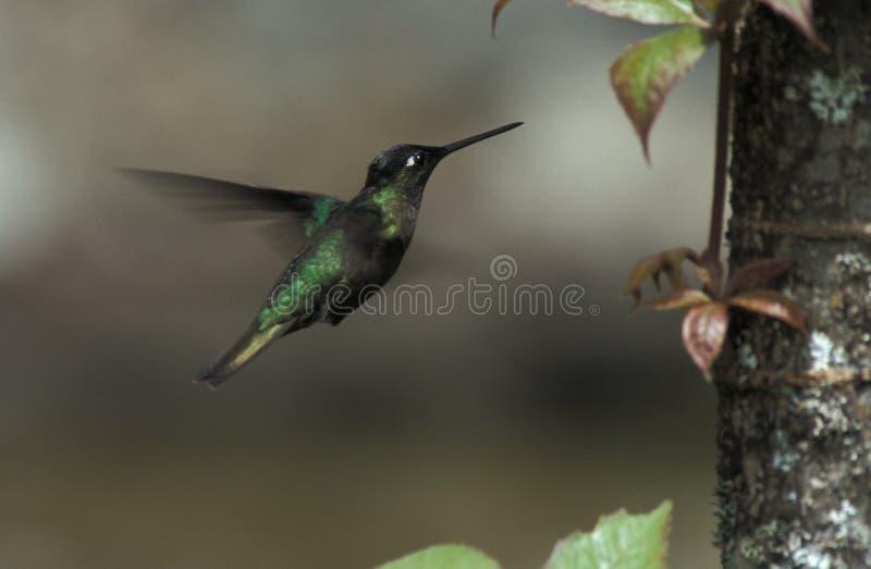 Prachtige Kolibrie, Rivoli -rivoli-kolibrie, Eugenes fulgens royalty-vrije stock afbeeldingen