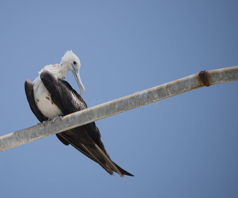 Prachtige (onrijpe) Frigatebird in Yucatan, Mexico royalty-vrije stock fotografie