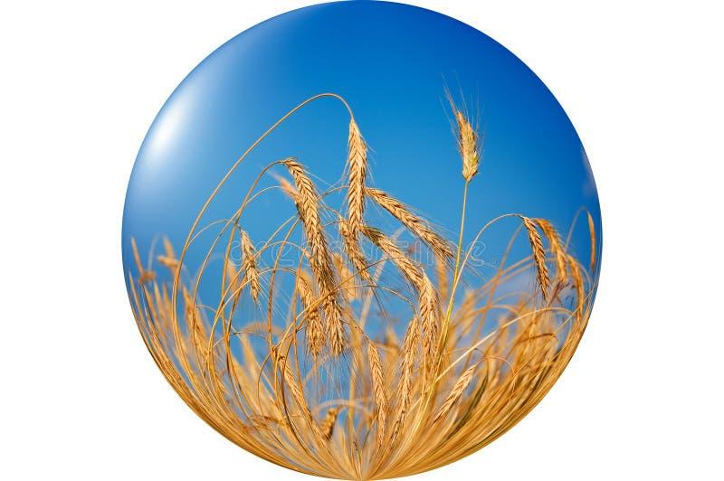 Prachtige, rijpe tarwe tegen blauwe hemelachtergrond. stock foto