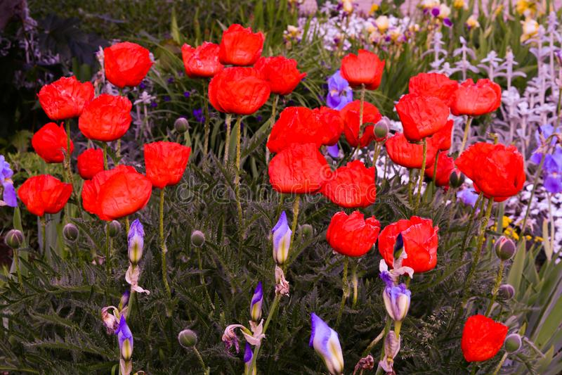 Prachtige Rode papaverbloem stock foto