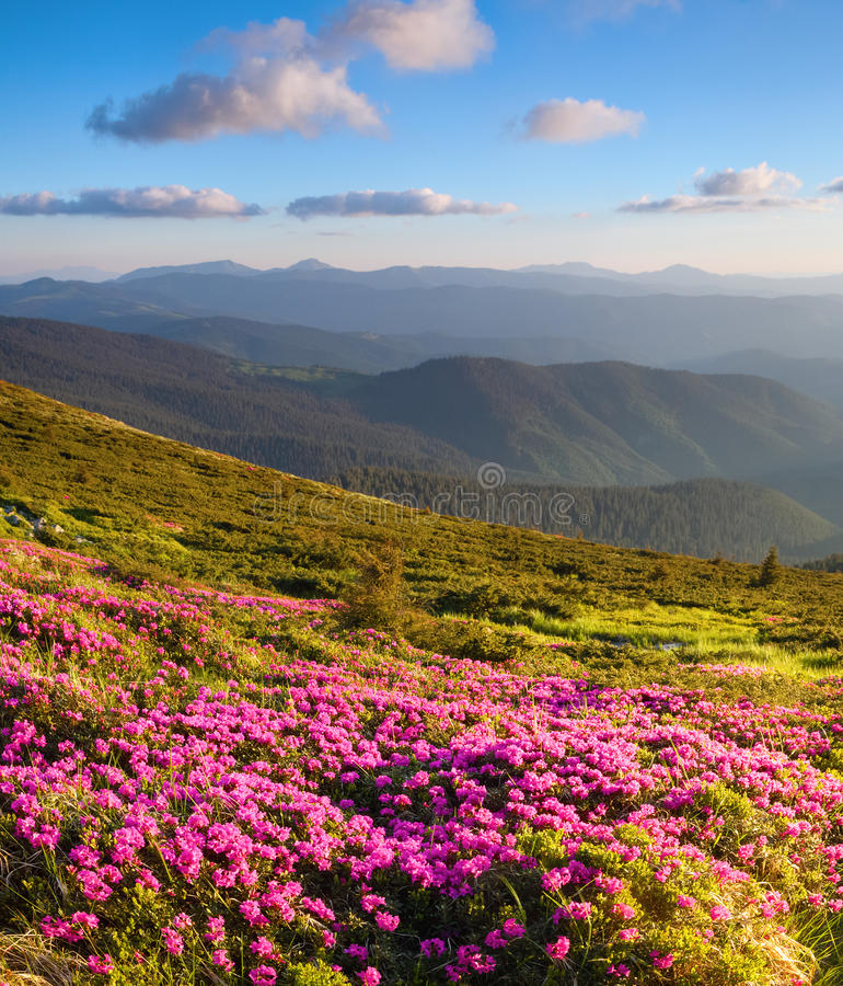 Prachtige roze rododendrons op de bergen royalty-vrije stock fotografie