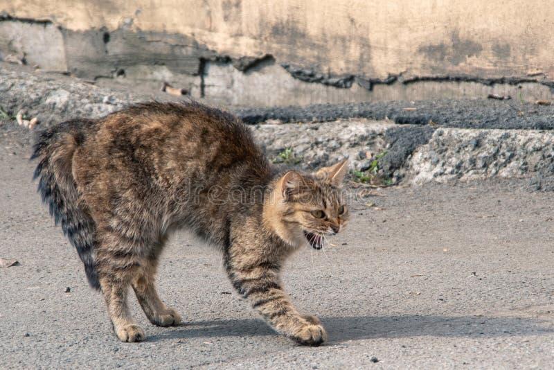 Prachtige tabby cat'elegant ombuigt agressie, angst op de grond, close-up royalty-vrije stock afbeeldingen
