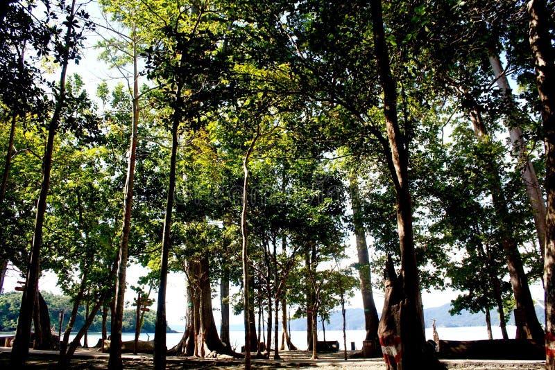 Prachtige 150 voet bomen - Overzees Mohwa op Radhanagar-strand, Havelock-Eiland, Andaman-Eilanden, India stock afbeelding