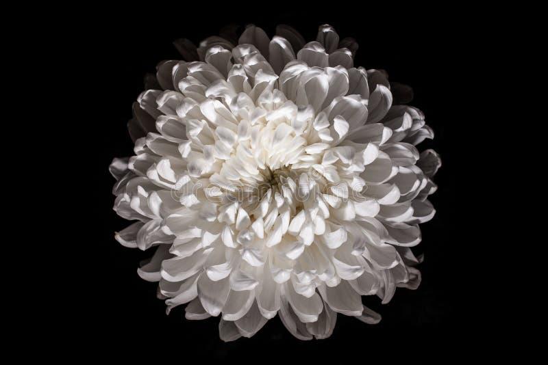 Prachtige witte chrysant op een zwarte achtergrond stock afbeeldingen