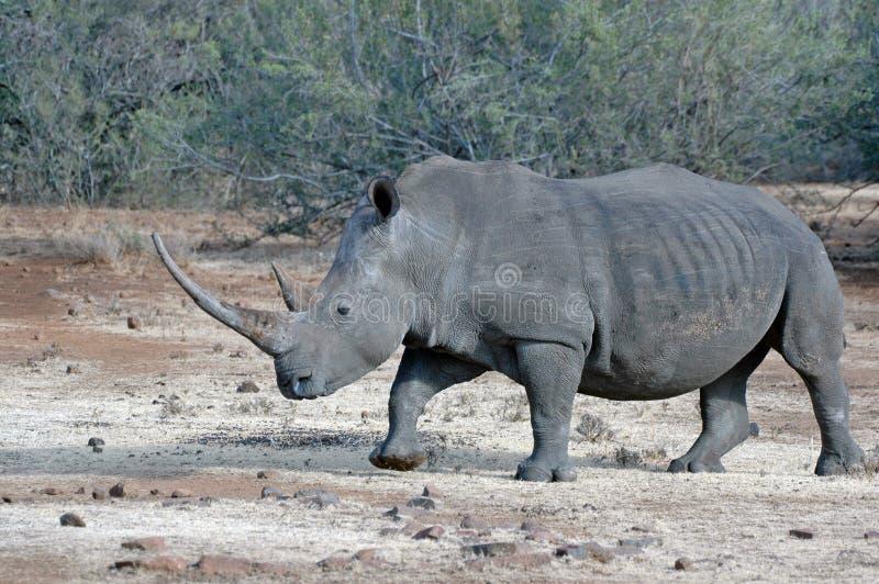 Prachtige Witte Rinoceros. royalty-vrije stock foto's