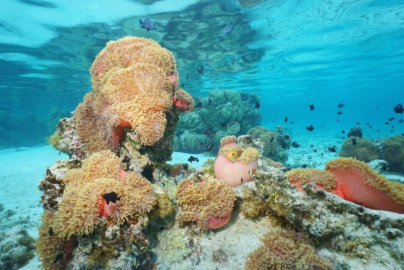 Prachtige zeeanemoon met vissen Franse polynesia royalty-vrije stock afbeelding