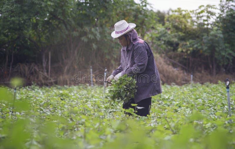 Prachuapkhirikhan, Таиланд - 12-ое июля 2016: Тайский местный фермер жать сладкий картофель (бататы) в поле стоковое изображение rf