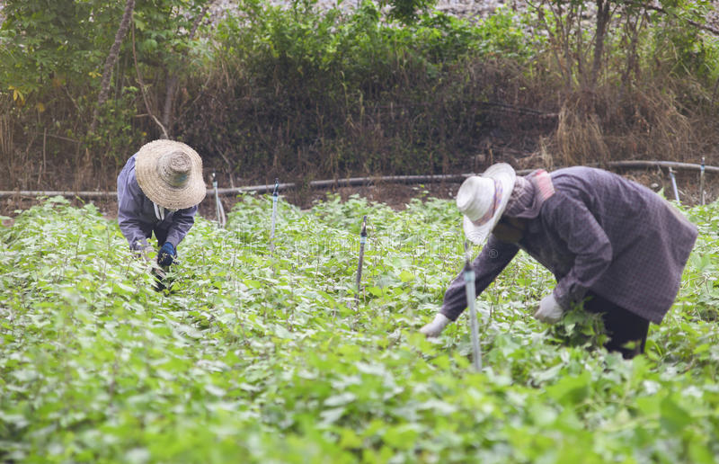 Prachuapkhirikhan,Thailand -July 12, 2016: Thai local farmer harvesting a sweet potato(yams) in a field stock photos