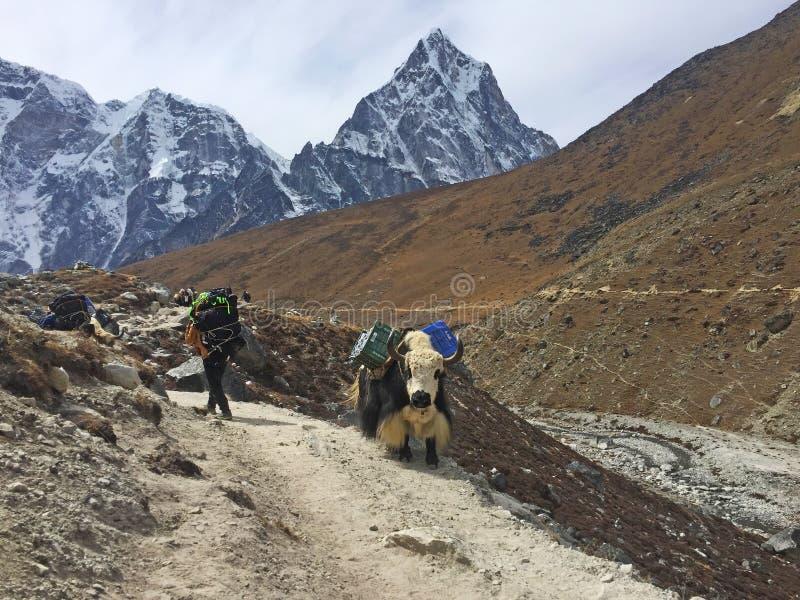 - Pracowici Yaks na sposobie sławny Everest Podstawowy obóz, Nepal fotografia stock
