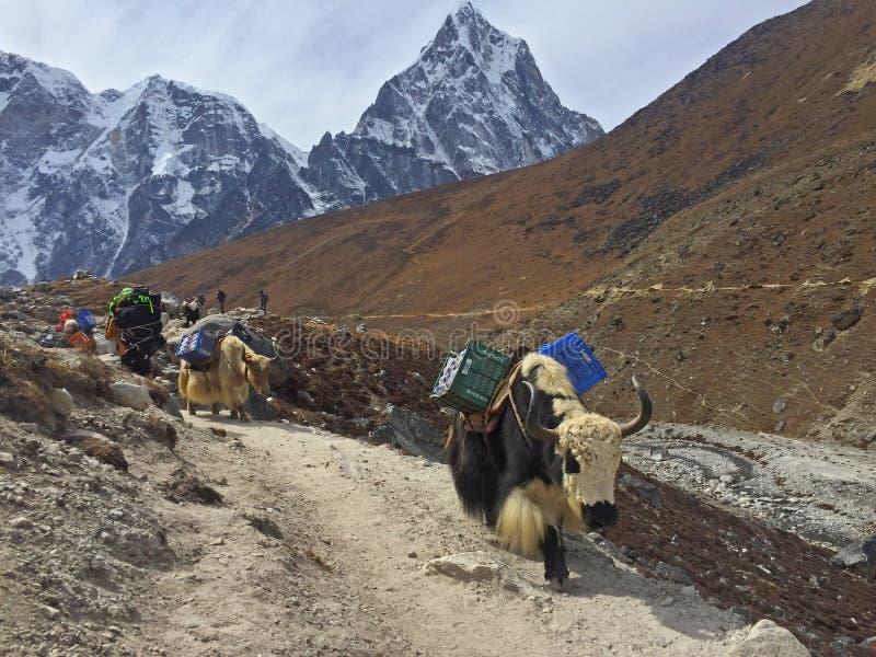 Pracowici Yaks na sposobie s?awny Everest Podstawowy ob?z, Nepal fotografia stock