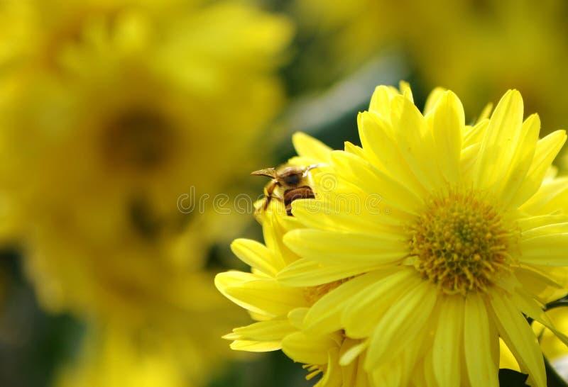 Pracowita pszczoła obrazy royalty free