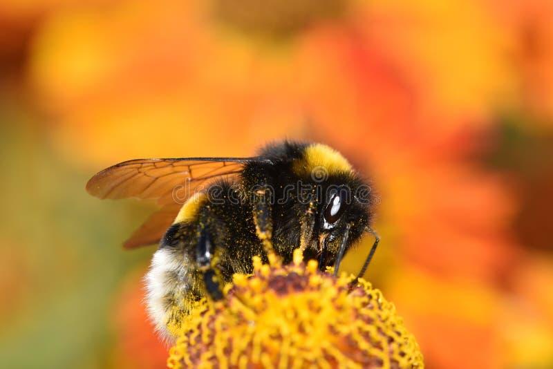 Pracowity bumblebee na kwiacie obrazy royalty free