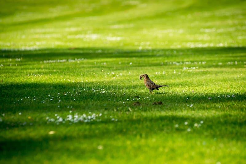 Pracowity ptak na trawie fotografia stock
