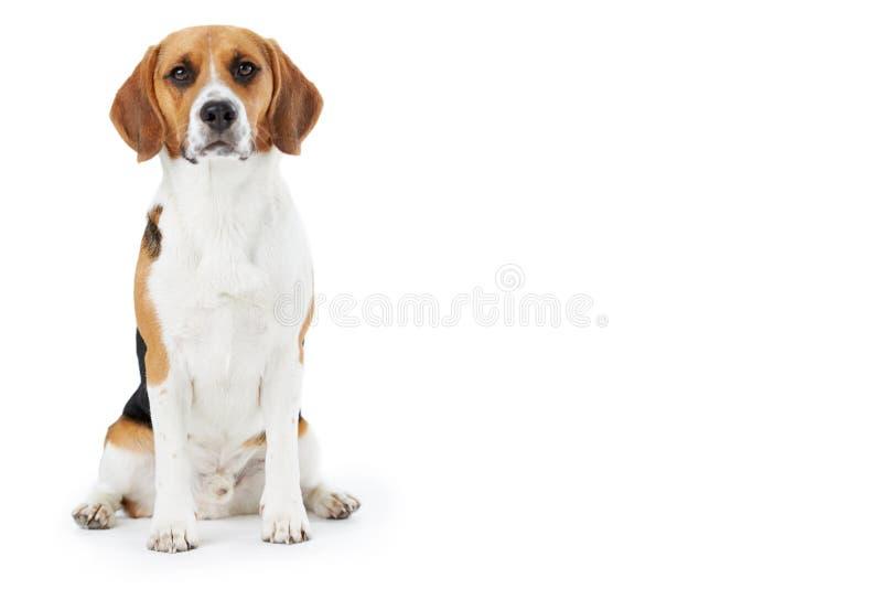 Pracowniany portret Beagle pies Przeciw Białemu tłu zdjęcia royalty free