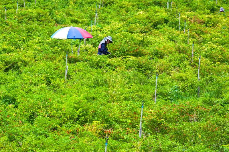 Pracownicy żniwo chili tapetuje w dolinnej wysokiej górze północ Tajlandia, 26 2018 Październik, Tajlandia, wieśniacy zbierają obraz royalty free