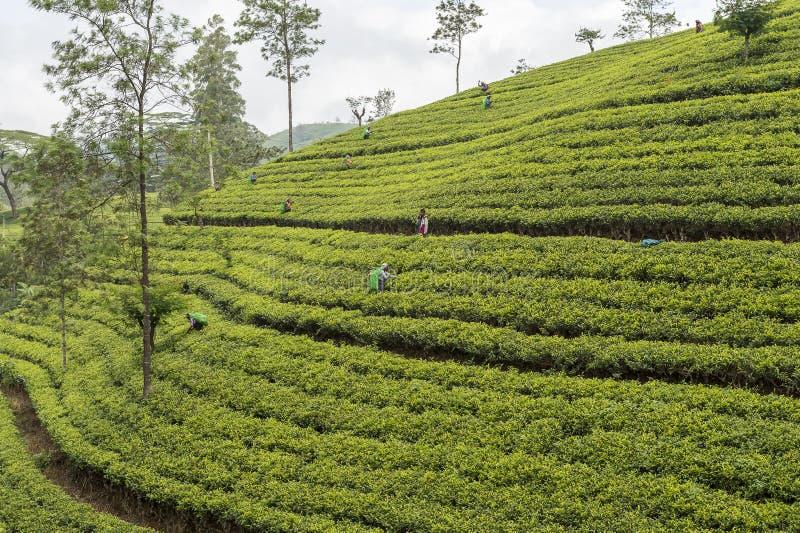 Pracownicy pracuje na herbacianej plantaci w Sri Lanka zdjęcia stock