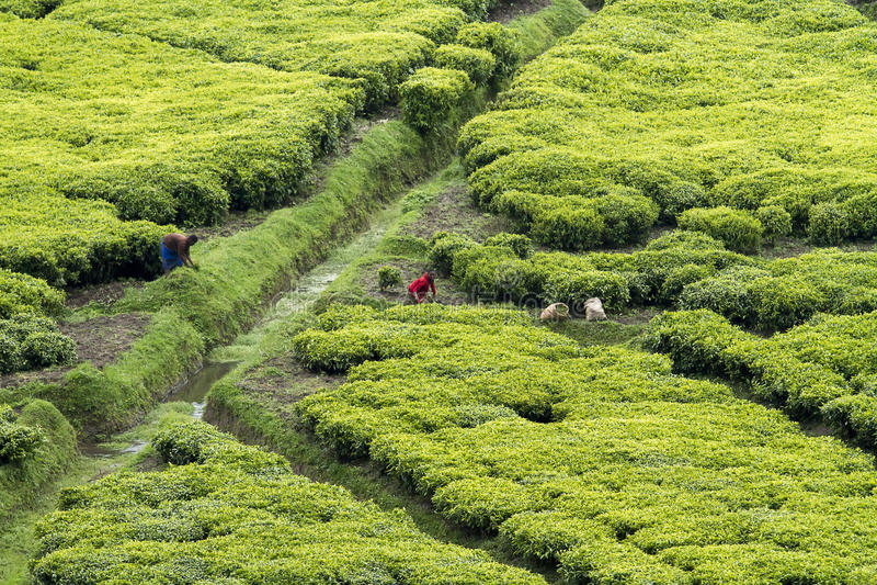 Pracownicy przy herbacianą plantacją zdjęcie royalty free