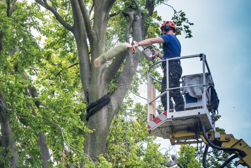 Pracownicy spadali drzewo z łańcuszkowym saw zdjęcie stock