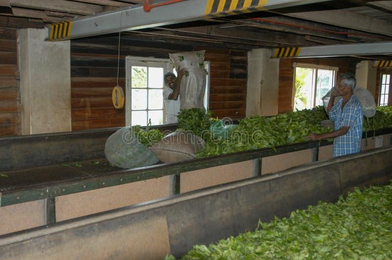 Pracownicy suszy herbaty wśrodku herbacianej fabryki blisko Kandy fotografia royalty free