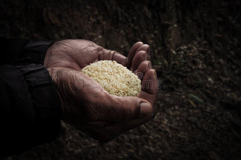 Pracownicy wręczają z ryż zdjęcie royalty free