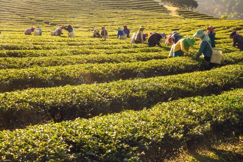 Pracownicy zbiera zielonej herbaty opuszczają w herbacianej plantaci obrazy royalty free