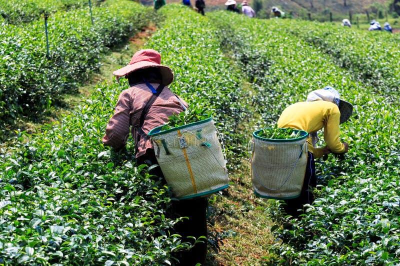 Pracownicy zbiera zielonej herbaty w zielenieją pole zdjęcia royalty free