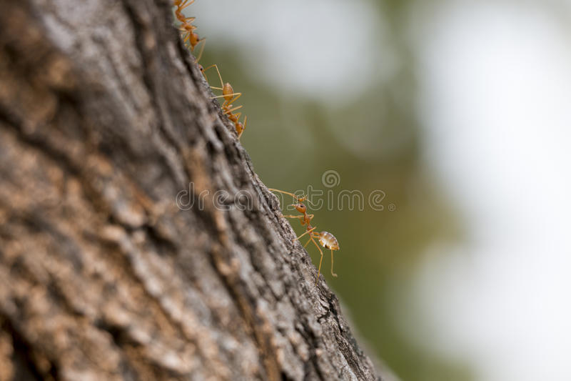 Pracownik mrówka fotografia stock