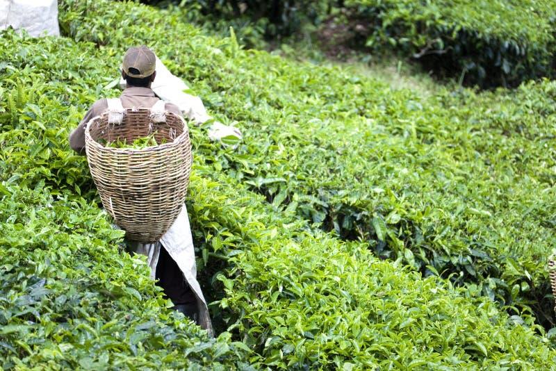 Pracownik na herbacianej plantaci fotografia stock
