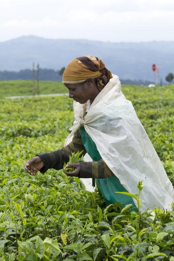 Pracownik przy herbacianą plantacją fotografia stock
