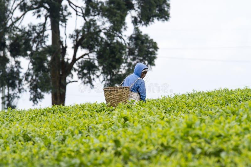 Pracownik przy herbacianą plantacją obrazy royalty free