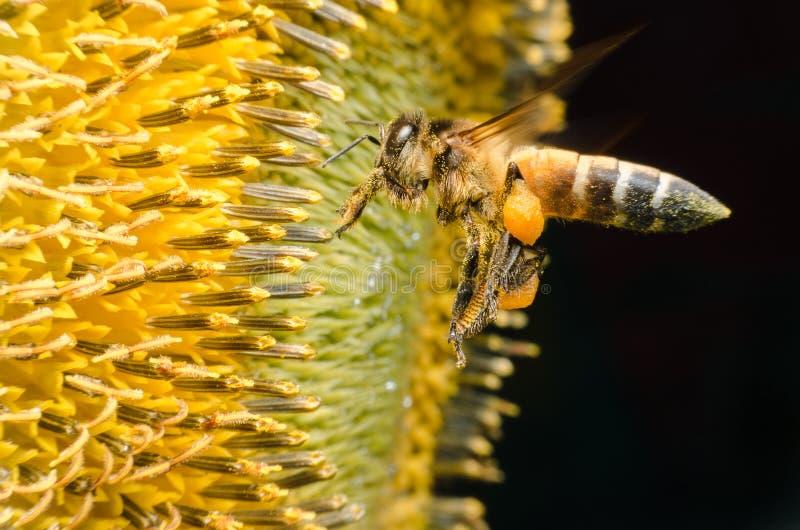 Pracownik pszczoły zgromadzenia nektar od słoneczników zdjęcia royalty free