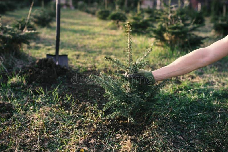 Pracownik ro?lina m?ody drzewo w ogr?dzie Ma?a plantacja dla choinki Picea pungens i Abies nordmanniana ?wierczyna i f obrazy royalty free