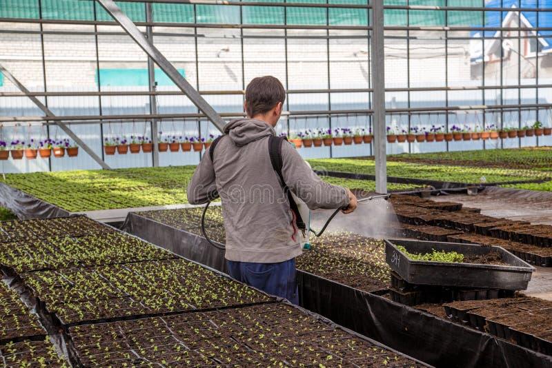 Pracownik spaying młode rozsady w szklarni z wody, rośliny ochrony substancjami chemicznymi przeciw lub zdjęcia royalty free