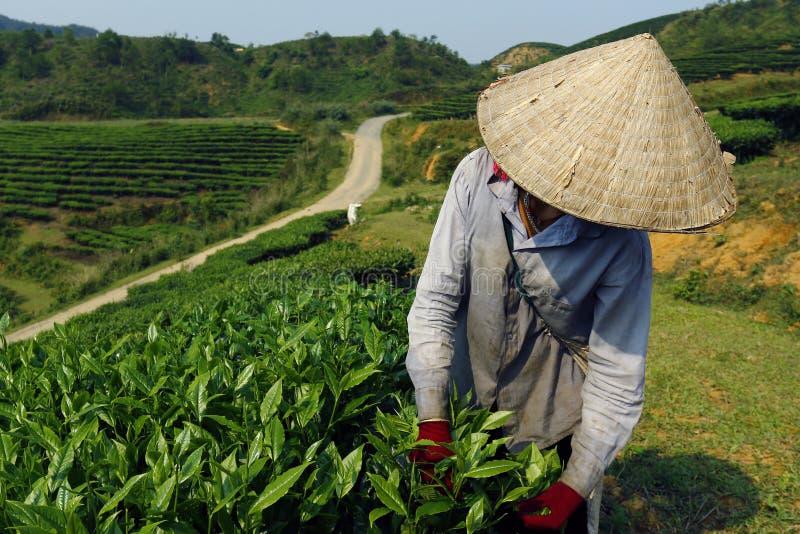 Pracownik w herbacianej plantaci fotografia stock