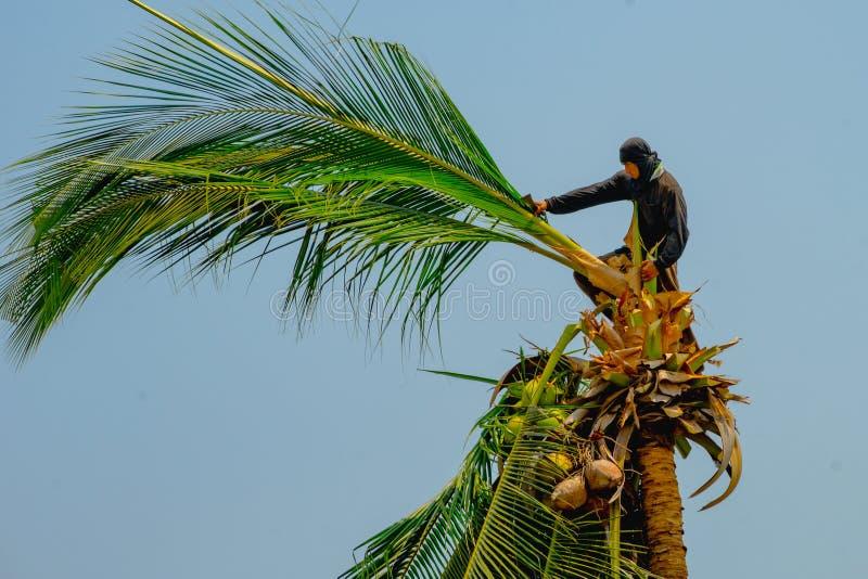 Pracownik wspina się kokosowych drzewa obraz royalty free