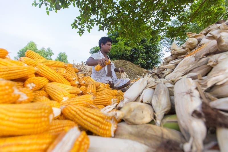 Pracownik zbiera kukurydzanego żniwo, Thakurgaon, Bangladesz obrazy stock