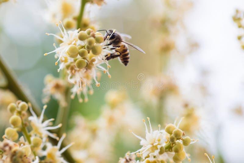 Pracująca pszczoła zdjęcia stock