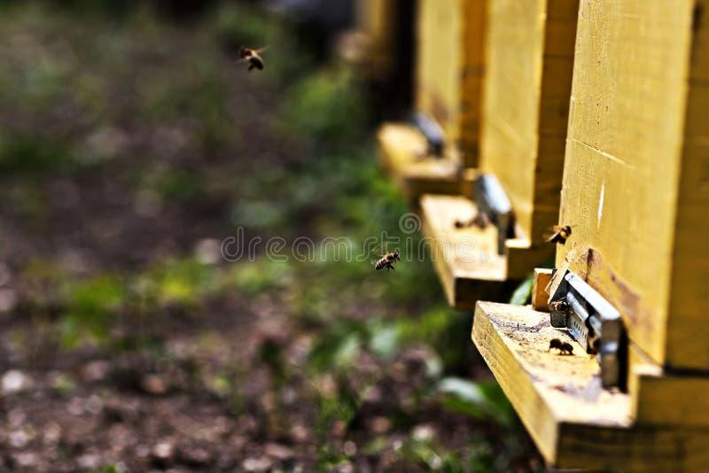 Pracuj?ce pszczo?y lata blisko ? zdjęcie royalty free