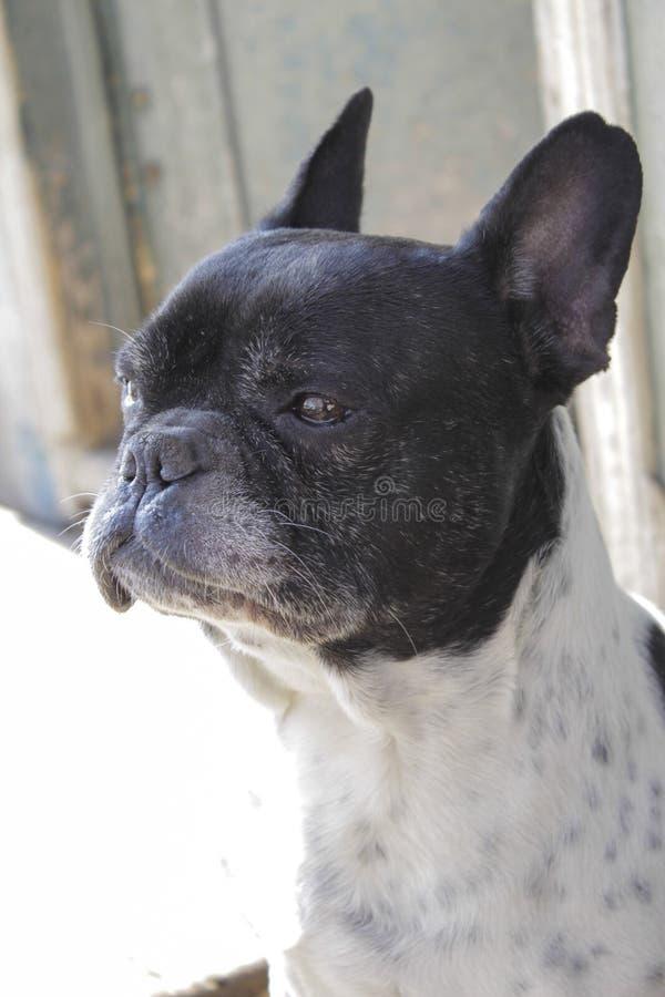 Pracuj?cy armatni pies obrazy royalty free