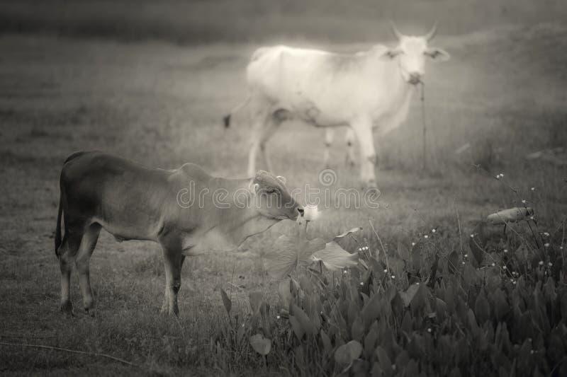 Pradera y vacas imágenes de archivo libres de regalías