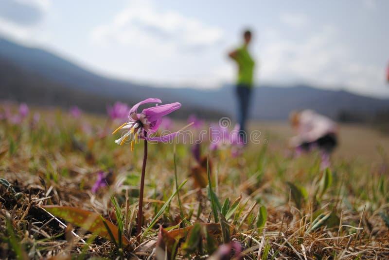 Prado alpino da flor fotos de stock