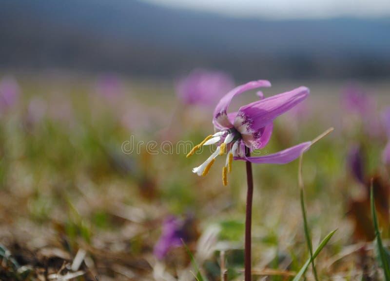 Prado alpino da flor imagem de stock royalty free