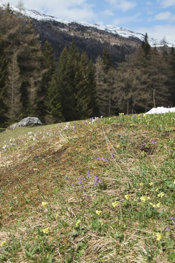 Prado alpino da mola fotos de stock royalty free