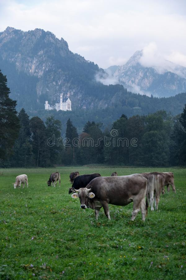 Prado alpino, pasto, vacas con los cuernos, manada delante del bosque, abetos, en el fondo el castillo famoso de Neuschwanstein imagen de archivo libre de regalías