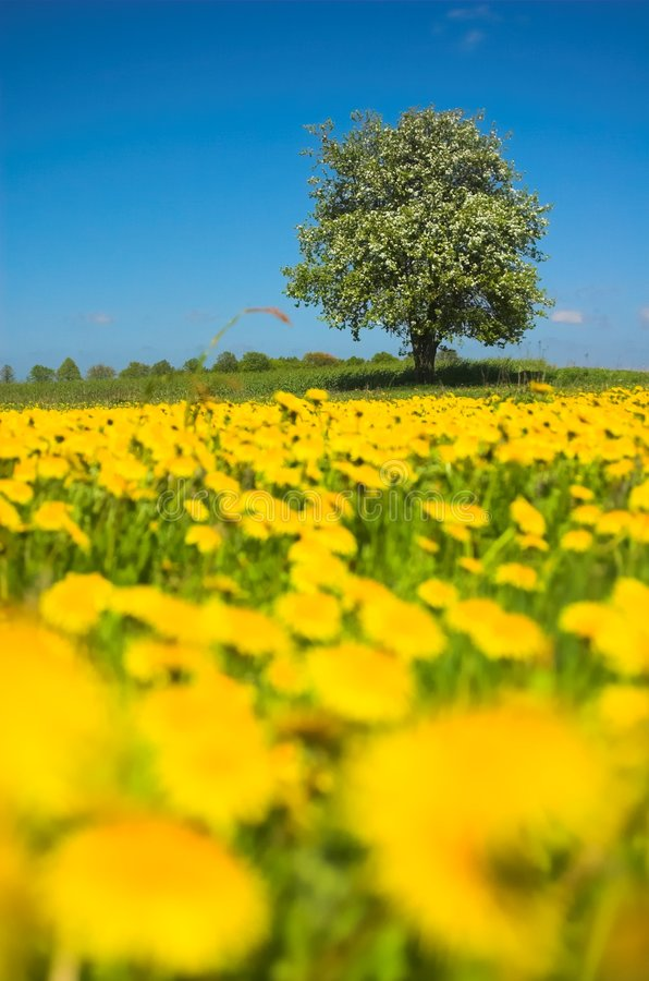 Prado amarelo imagens de stock royalty free