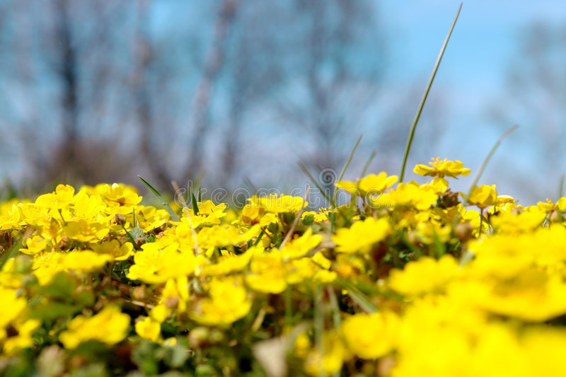 Prado amarelo selvagem da flor imagens de stock royalty free